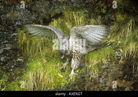 young gyrfalcon - flapping its wings / Falco rusticolus - Stock Photo