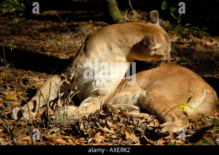 Florida panther grooms its fur outdoors in sunshine florida nature wild animal rare endangered species - Stock Photo