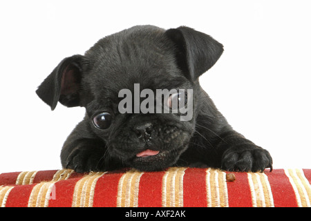 pug - puppy lying on pillow - Stock Photo