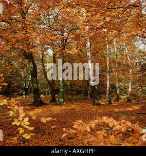 Autumn Wood, Epping Forest, Greater London,  UK, GB - Stock Photo