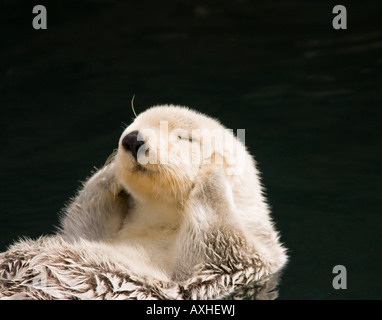 otter enjoying the sun while floating - Stock Photo