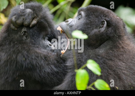 Africa Uganda Bwindi Impenetrable National Park Juvenile Mountain Gorillas Gorilla gorilla beringei bare teeth - Stock Photo
