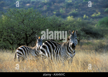 Zebras Standing on Plain in Nechisar National Park Ethiopia Africa - Stock Photo