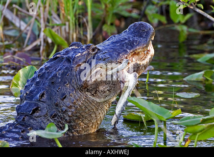 American Alligator eating remains of a Great Blue Heron, Everglades National Park, Florida. - Stock Photo