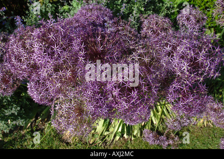 A FLOWER BED WITH ALLIUM CRISTOPHII IN THE GARDEN AT MANOR FARM SOMERSET BY GARDEN DESIGNER SIMON JOHNSON UK - Stock Photo