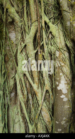 Close up view of a Banyon Tree
