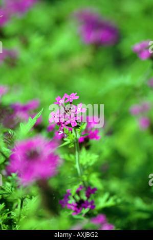 verbena verbena hybrid blossom stock photo royalty. Black Bedroom Furniture Sets. Home Design Ideas
