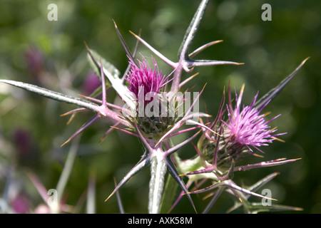 Wild purple thistle flowers in Spring time near Anavissos in Attica or Atiki Greece - Stock Photo