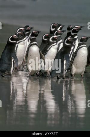 Magellanic Penguins (Spheniscus magellanicus) on beach Saunders Island, Falkland Islands. - Stock Photo