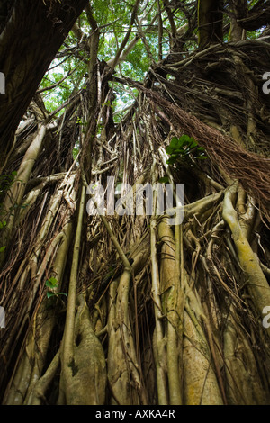 Banyon tree in Hilo Hawaii