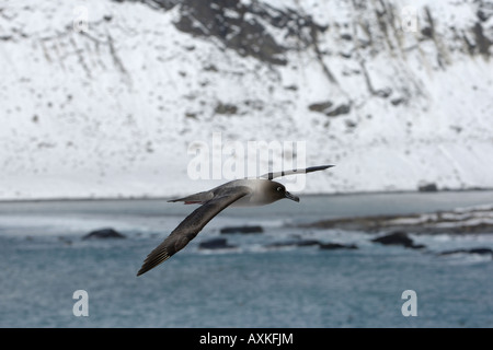 Light mantled Sooty Albatross, Gold Harbour, South Georgia Island, South Atlantic Ocean, flying - Stock Photo