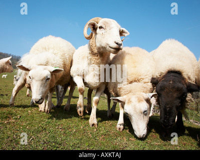 Wiltshire Horn grazing in a field in south wales - Stock Photo