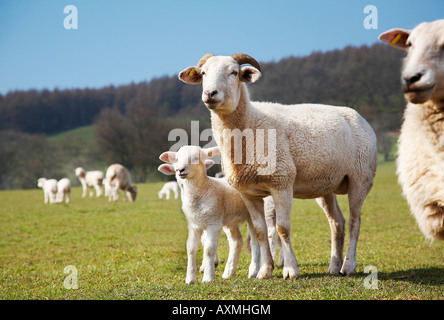 Wiltshire Horn with lamb in a field in south wales - Stock Photo