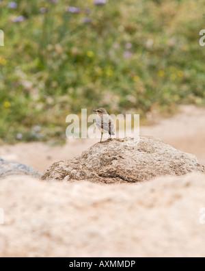 Cyprus wheatear Oenanthe cypriaca on rock - Stock Photo