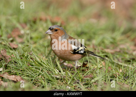 Male Chaffinch feeding on the ground - Stock Photo