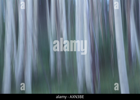 Using camera movement, this is an graphical abstract blur of a grove of aspen trees near Big Tesuque Creek Santa - Stock Photo