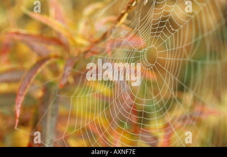 Spiders web with early morning dew suspended from Rosebay willowherb or Fireweed or Epilobium angustifolium - Stock Photo