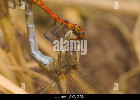 Common Darter Sympetrum striolatum dragonflies in a 'mating wheel'. - Stock Photo