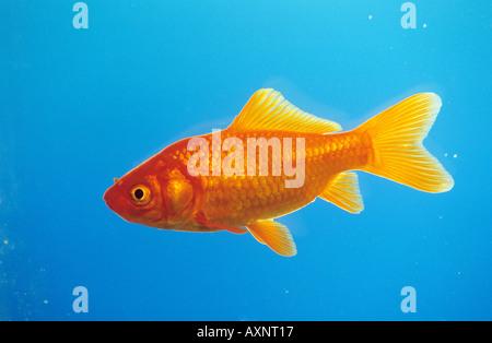 Goldfish (Carassius auratus) seen side-on - Stock Photo