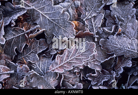 Frosted oak leaves Quercus robur UK - Stock Photo