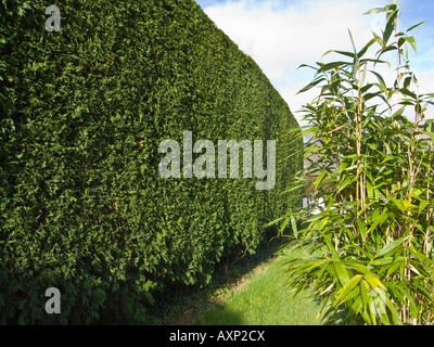 Tall leylandii hedge after annual trimming - Stock Photo