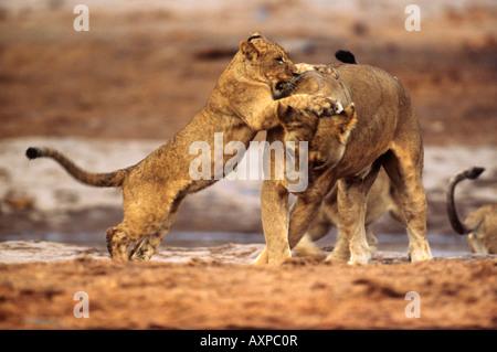 Lion Panthera leo cub playing with her mother in Savuti Chobe National Park Botswana - Stock Photo