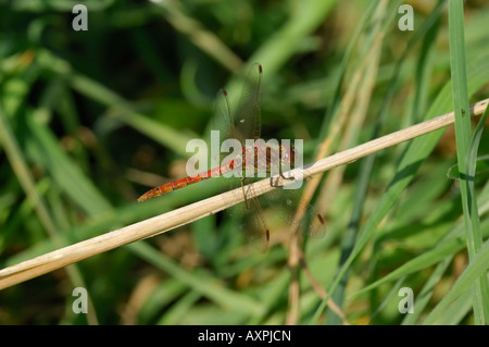 Common Darter - Stock Photo