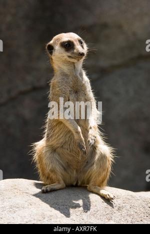 Lazy meerkat on lookout - Stock Photo