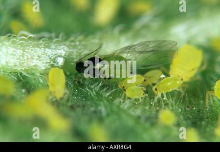 Nasturtium aphid Aphis nasturtii alate other stages on leaf - Stock Photo