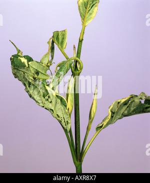 Hazel tortrix moth Pandemis corylana spun leaves damage to dogwood Cornus sp - Stock Photo