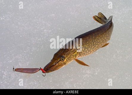 Hooked northern pike esox lucius in lake caught with for Pike ice fishing lures