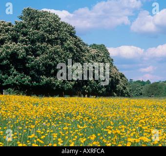 Buttercups Ranunculus acris in Summer Meadow Chilterns Bucks - Stock Photo