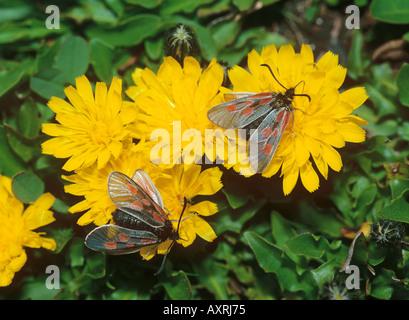 transparent burnet on yellow flowers zygaena purpuralis - Stock Photo