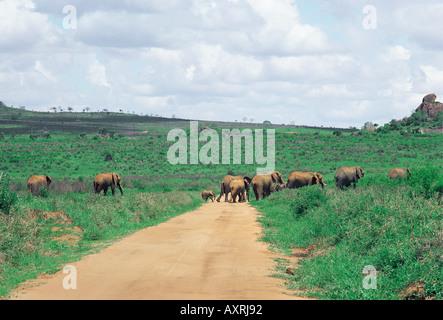 Elephants crossing a vehicle track near Ngulia Hills in Tsavo West National Park Kenya East Africa - Stock Photo