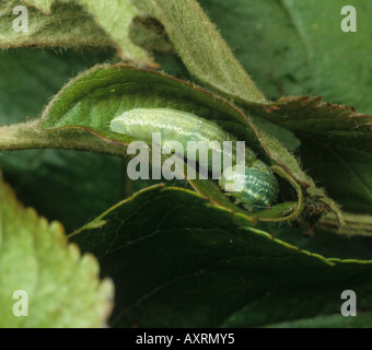 Winter moth Operophtera brumata caterpillar in an apple leaf roll - Stock Photo