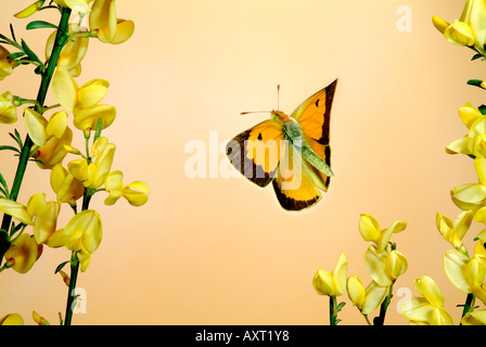 Clouded Yellow butterfly Colias croceus male in flight high speed photographic technique Migrant to UK - Stock Photo