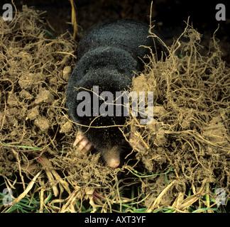 A mole Talpa europaea among grass roots - Stock Photo