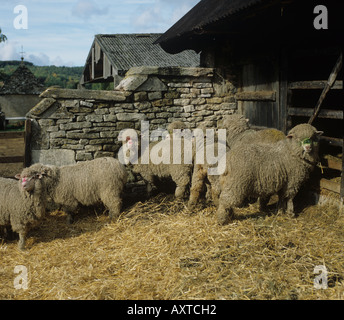 7 month old Polwarth ewe lambs in stone collecting pen Gloucestershire - Stock Photo
