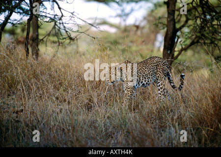 Spotted Cheetah walking through tall grass in Africa - Stock Photo