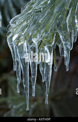 icicles on pine tree after freezing rain storm - Stock Photo