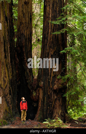 A boy stands amidst the towering redwoods of Montgomery Woods State Reserve - Stock Photo