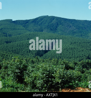 Blue gum or eucalyptus Eucalyptus grandis plantation in the Transvaal - Stock Photo