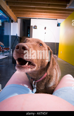Close up portrait of a Chesapeake Bay retriever looking up at pregnant female while she sits on the couch United - Stock Photo