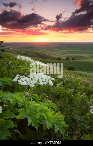 Flowers at Steptoe Butte in the Palouse region of eastern Washington state - Stock Photo