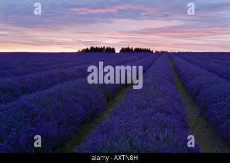 Gentle lines of Lavender leading to the trees and clouds of sunset - Stock Photo