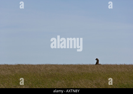 Lion sits on lookout in a clean vista of the Serengeti National Park, Tanzania - Stock Photo