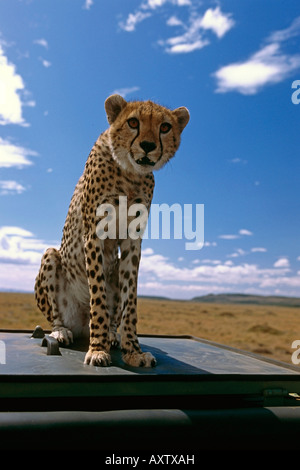 Young spotted Cheetah sitting ontop of vehicle Africa - Stock Photo