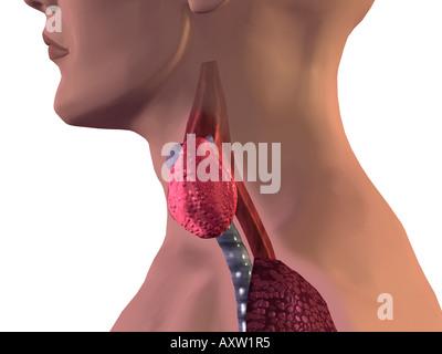 Thyroid Gland - Stock Photo