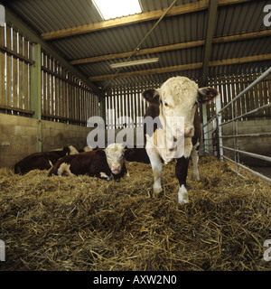 Hereford beef bulls on straw in animal house Herefordshire - Stock Photo