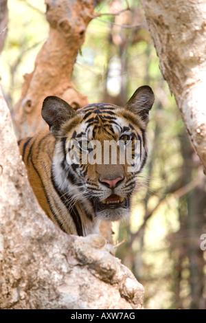 Indian tiger (Bengal tiger) (Panthera tigris tigris), Bandhavgarh National Park, Madhya Pradesh state, India, Asia - Stock Photo